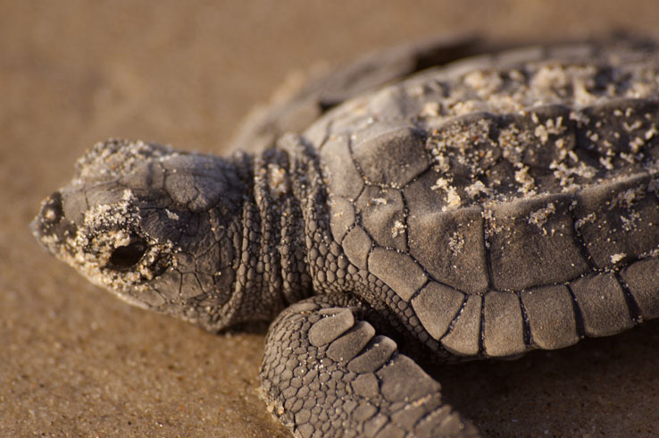North Padre Island National Seashore Turtle Release