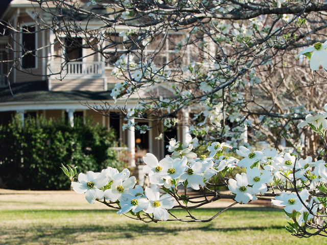 Blooming dogwoods in front of a historic home in Palestine, Texas.