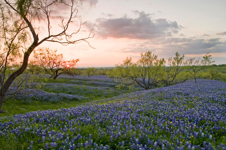 A field of blooming bluebonnets signifies the coming of spring in Texas.