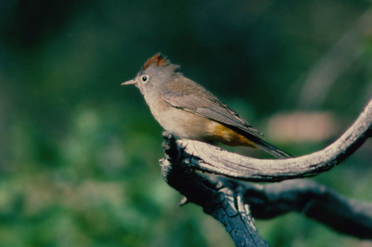 Big Bend is the only place in the country where you can find the Colima Warbler.